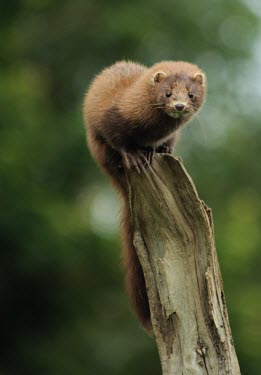 American mink Invasive,invasive species,UK,United Kingdom,mustelid,mustelids,close-up,Captive,Carnivores,Carnivora,Weasels, Badgers and Otters,Mustelidae,Chordates,Chordata,Mammalia,Mammals,Asia,South America,Strea