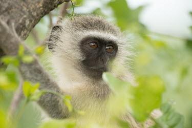 Vervet monkey vervet monkey,monkey,monkeys,primate,primates,old world monkey,old world monkeys,close up,close-up,juvenile,shallow focus,face,head,tree,Primates,Chordates,Chordata,Old World Monkeys,Cercopithecidae,M