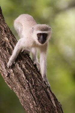 Vervet monkey vervet monkey,monkey,monkeys,primate,primates,old world monkey,old world monkeys,shallow focus,tree,looking towards camera,climbing,Primates,Chordates,Chordata,Old World Monkeys,Cercopithecidae,Mammal