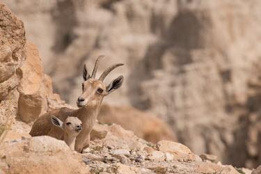 Ibex ibex,ibexes,even-toed ungulate,ungulate,ungulates,juvenile,adult,resting,habitat,cliffs,rocks,parental care,shallow focus,negative space