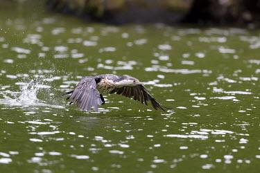 Pied shag large pied cormorant,Australian pied cormorant,black and white cormorant,black and white shag,great pied cormorant,greater pied cormorant,greater pied shag,large pied shag,pied cormorant,pied shag,yel