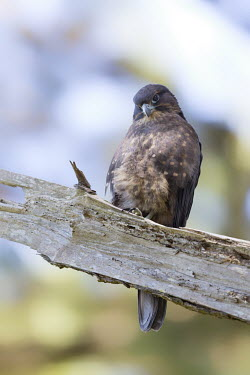 New Zealand falcon Birds,Conservation,Endangered,morning,sitting,Threatened,Vertical,bird of prey,birds of prey,raptor,raptors,bird,birds,falcon,near threatened,aves,falconiformes,falconidae,perched,eye,Animalia,Chordat