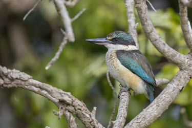 New Zealand kingfisher Kotare,sacred kingfisher,bird,birds,kingfisher,kingfishers,animals,wildlife,New Zealand,profile,side view,least concern,green kingfisher,New Zealand kingfisher,tree kingfisher,wood kingfisher,shallow
