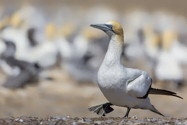 Australasian gannet Australian gannet,Australasian gannet,Birds,Conservation,evening,Horizontal,New Zealand,Wildlife,Wildscape,walking,gannet,gannets,bird,Least Concern,flight,flying,Animalia,Chordata,Aves,Suliformes,Sul