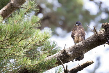 New Zealand falcon Conservation,Endangered,morning,sitting,Threatened,bird of prey,birds of prey,raptor,raptors,bird,birds,falcon,near threatened,aves,falconiformes,falconidae,perched,eye,Animalia,Chordata,falcons,adult