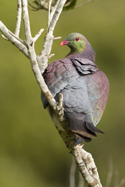 New Zealand pigeon New Zealand pigeon,kereru,kereru,parea,endemic,endangered,bird,new zealand,near threatened,colour,pigeon,pigeons,aves,birds,columbiformes,columbidae,profile,perched,Wild,Hemiphaga novaeseelandiae,Pige