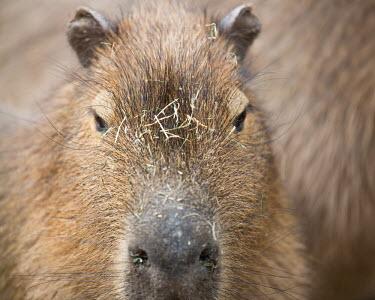 Capybara Hydrochoerus hydrochaeris,capybara,capybaras,rodent,largest rodent,close up,close-up,shallow focus,face,brown,Chordates,Chordata,Guinea Pig, Wild Cavies, and the Capybara,,Caviidae,Rodents,Rodentia,Ma