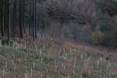 Cwmcarn Forest - newly planted replacement trees Cwmcarn Forest,forest,Cwmcarn,fungal disease,disease,fungus,Phytophthora ramoru,larch disease,clearing,felling,logging,larch,Larix sp.,landscape,tree,trees,infection,infected,machinery,cleared,regrowt