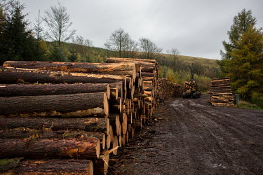 Cwmcarn Forest Cwmcarn Forest,forest,Cwmcarn,fungal disease,disease,fungus,Phytophthora ramoru,larch disease,clearing,felling,logging,larch,Larix sp.,landscape,tree,trees,infection,infected,machinery,cleared,logs,pi