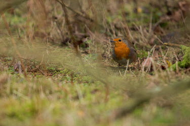 Robin bird,birds,shallow focus,negative space,ground,looking towards camera,red breast,robin,undergrowth,adult,male,woodland,Aves,Birds,Perching Birds,Passeriformes,Chordates,Chordata,Turdidae,Thrushes,Old
