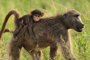 Baboon baboon,baboons,primate,primates,monkey,monkeys,adult,young,infant,carried,grass,grasses,parental care,piggyback