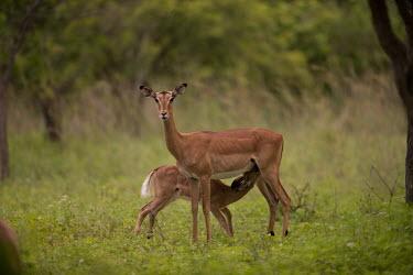 Impala suckling young impala,antelope,antelopes,impalas,juvenile,young,drinking,feeding,milk,lactation,suckling,female,adult,looking at camera,parental care,Chordates,Chordata,Even-toed Ungulates,Artiodactyla,Bovidae,Bison