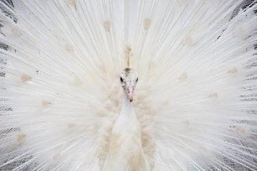 White peacock leucism,leucistic,white peacock,peacock,peacocks,display,feathers,close up,close-up,adult,male,peafowl,bird,birds,Animalia,Chordata,Aves,Galliformes,Phasianidae,Phasianinae