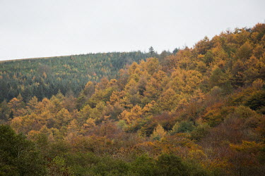 Cwmcarn Forest Cwmcarn Forest,forest,Cwmcarn,fungal disease,disease,fungus,Phytophthora ramoru,larch disease,larch,Larix sp.,landscape,tree,trees,infection,infected