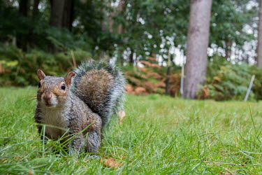 Grey squirrel grey squirrel,squirrel,squirrels,mammal,mammals,negative space,shallow focus,grass,garden,woodland,looking at camera,close,side,Rodents,Rodentia,Squirrels, Chipmunks, Marmots, Prairie Dogs,Sciuridae,C