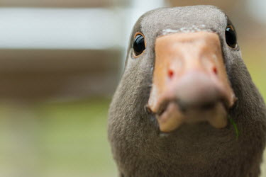 Goose goose,close-up,close up,beak,eyes,side,shallow focus,negative space,head,face,comical,funny,humour,humourous
