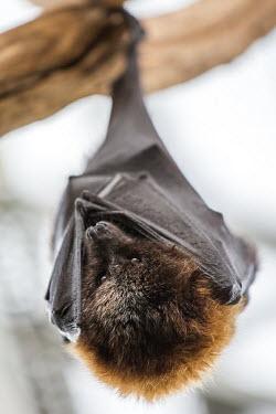 Bat bat,bats,roosting,resting,wings,upside down,hanging,shallow focus