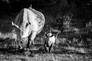 White rhinos Sibuya,Sibuya Game Reserve,South Africa,white rhinoceros,white rhino,Ceratotherium simum,white rhinos,rhino,rhinos,black and white,b&w,eating,feeding,horn,walking,mother,young,adult,female,oxpecker,bi