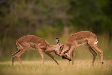 Play fighting impala,antelope,antelopes,impalas,juvenile,grass,grassland,play fight,play fighting,spar,sparring,play,playing,two,pair,shallow focus,low angle,Chordates,Chordata,Even-toed Ungulates,Artiodactyla,Bovi