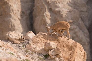 Ibex ibex,ibexes,even-toed ungulate,ungulate,ungulates,juvenile,juveniles,resting,drinking,feeding,milk,lactation,suckling,habitat,cliffs,rocks,parental care