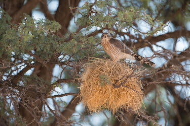 Bird of prey bird of prey,bird,birds,nest,nesting,tree,looking towards camera,adult