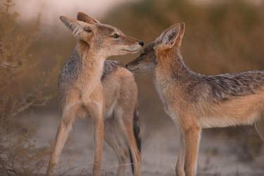 Black-backed jackals black-backed jackal,jackal,jackals,Canis mesomelas,Canis,mesomelas,canid,two,pair,Carnivores,Carnivora,Mammalia,Mammals,Dog, Coyote, Wolf, Fox,Canidae,Chordates,Chordata,Semi-desert,Forest,Terrestrial