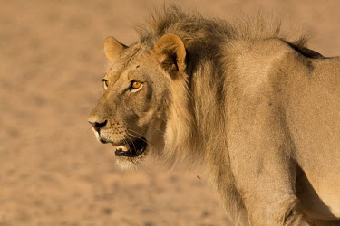 Lion lion,lions,big cat,big cats,male,adult,cat,cats,carnivore,carnivores,mammals,face,shallow focus,side,Felidae,Cats,Mammalia,Mammals,Carnivores,Carnivora,Chordates,Chordata,leo,Animalia,Savannah,Africa,