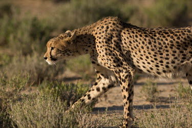 Cheetah cheetah,cheetahs,big cats,big cat,predator,fastest land mammal,hunting,behaviour,shallow focus,spots,habitat,stalking,side,close up,close-up,cat,cats,carnivore,carnivores,mammals,Chordates,Chordata,Ca