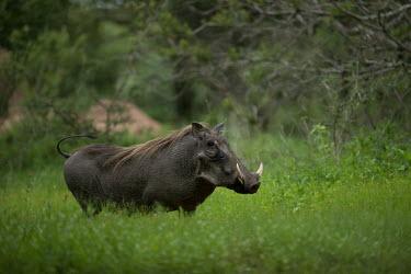 Warthog Phacochoerus africanus,Phacochoerus,africanus,Common warthog,warthog,warthogs,hog,hogs,pig,pigs,habitat,adult,Mammalia,Mammals,Chordates,Chordata,Suidae,Hogs and Pigs,Even-toed Ungulates,Artiodactyla,