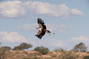 Secretarybird secretarybird,flight,in flight,flying,bird,birds,Sagittarius serpentarius,wings,feathers,Falconiformes,Hawks Eagles Falcons Kestrel,Secretarybird,Sagittariidae,Aves,Birds,Ciconiiformes,Herons Ibises S