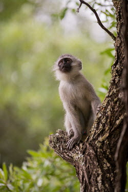 Vervet monkey vervet monkey,monkey,monkeys,primate,primates,old world monkey,old world monkeys,shallow focus,tree,looking up,climbing,Primates,Chordates,Chordata,Old World Monkeys,Cercopithecidae,Mammalia,Mammals,p