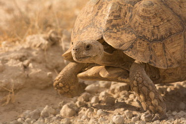 Tortoise tortoise,reptile,reptiles,tortoises,close up,close-up,walking,old,dry,arid