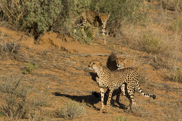 Cheetahs cheetah,cheetahs,big cats,big cat,predator,fastest land mammal,hunting,behaviour,shallow focus,habitat,prowling,three,group,cat,cats,carnivore,carnivores,mammals,Chordates,Chordata,Carnivores,Carnivor