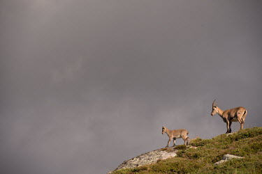 Ibex ibex,ibexes,even-toed ungulate,ungulate,ungulates,mountains,habitat,negative space,rocks,grey,cloud,clouds,adult,juvenile