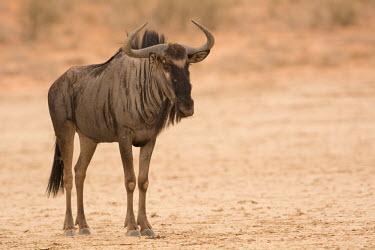 Blue wildebeest Blue wildebeest,Connochaetes taurinus,Connochaetes,taurinus,wildebeest,antelope,antelopes,dry,arid,negative space,portrait,Mammalia,Mammals,Even-toed Ungulates,Artiodactyla,Bovidae,Bison, Cattle, Shee