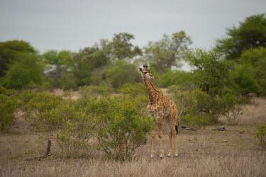 Giraffe giraffe,giraffes,mammal,mammals,habitat,Africa,Even-toed Ungulates,Artiodactyla,Chordates,Chordata,Mammalia,Mammals,Giraffidae,Giraffes,Terrestrial,Cetartiodactyla,Savannah,Herbivorous,Endangered,came