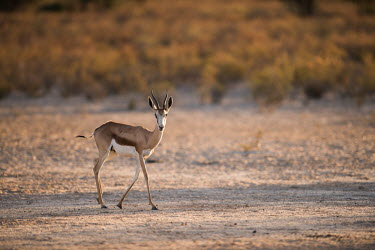 Springbok springbok,Antidorcas marsupialis,Antidorcas,marsupialis,even-toed ungulate,ungulate,ungulates,bovid,walking,habitat,low light,looking at camera,Chordates,Chordata,Even-toed Ungulates,Artiodactyla,Bovi