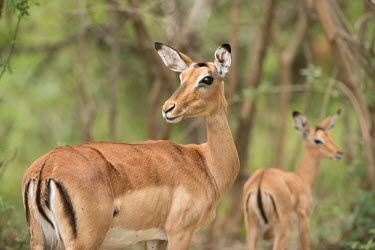 Impala impala,antelope,antelopes,impalas,habitat,two,adult,female,females,looking at camera,Chordates,Chordata,Even-toed Ungulates,Artiodactyla,Bovidae,Bison, Cattle, Sheep, Goats, Antelopes,Mammalia,Mammals