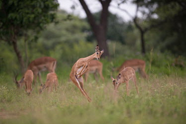 Impala impala,antelope,antelopes,impalas,habitat,grassland,group,adult,young,bounce,dance,leap,jump,spring,grazing,eating,Chordates,Chordata,Even-toed Ungulates,Artiodactyla,Bovidae,Bison, Cattle, Sheep, Goa