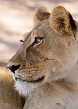Lion lion,lions,big cat,big cats,female,adult,cat,cats,carnivore,carnivores,mammals,face,head,close up,close-up,rest,resting,looking,alert,Felidae,Cats,Mammalia,Mammals,Carnivores,Carnivora,Chordates,Chord