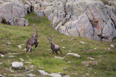 Ibexes ibex,ibexes,even-toed ungulate,ungulate,ungulates,habitat,rocks,horns,spar,sparring,two,pair,behaviour
