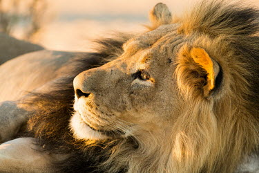 Lion lion,lions,big cat,big cats,resting,male,adult,close up,close-up,cat,cats,carnivore,carnivores,mammals,Felidae,Cats,Mammalia,Mammals,Carnivores,Carnivora,Chordates,Chordata,leo,Animalia,Savannah,Afric