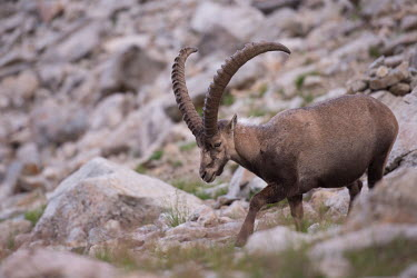 Ibex ibex,ibexes,even-toed ungulate,ungulate,ungulates,habitat,rocks,horns