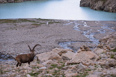 Ibex ibex,ibexes,even-toed ungulate,ungulate,ungulates,habitat,rocks,horns,water