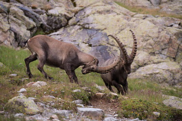 Ibexes ibex,ibexes,even-toed ungulate,ungulate,ungulates,habitat,rocks,horns,spar,sparring,two,pair,behaviour,fight,fighting