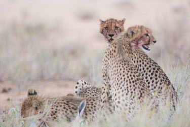Cheetahs cheetah,cheetahs,big cats,big cat,predator,fastest land mammal,feeding,group,behaviour,eating,watching,lookout,shallow focus,cat,cats,carnivore,carnivores,mammals,Chordates,Chordata,Carnivores,Carnivo