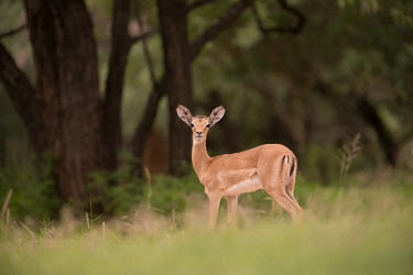 Impala impala,antelope,antelopes,impalas,adult,female,alert,habitat,looking at camera,savanna,woodland,Chordates,Chordata,Even-toed Ungulates,Artiodactyla,Bovidae,Bison, Cattle, Sheep, Goats, Antelopes,Mamma