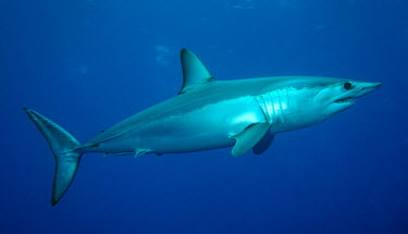 Shortfin mako shortfin mako,Isurus oxyrinchus,Isurus,oxyrinchus,open ocean,ocean,marine,sea,Azores,mako,shark,sharks,fish,fastest shark,swimming,blue,side view,adult,Wild,Cartilaginous Fishes,Chondrichthyes,Lamnida