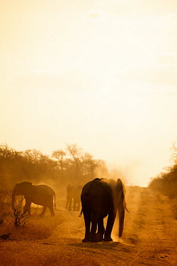 African elephant herd at dusk Africa,African,African elephant,Animal,Animals,away,dusk,dust,elephant,elephants,family,Fauna,gold,golden,group,herd,Loxodonta,Loxodonta africana,Mammal,mammals,outdoors,outside,path,portrait,road,Saf
