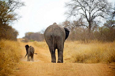 African elephant mother and baby walking away Africa,African,African elephant,Animal,Animals,away,baby,calf,dust,elephant,family,Fauna,gold,golden,group,Loxodonta,Loxodonta africana,Mammal,outdoors,outside,path,Photo Workshop,Photography Safari,P